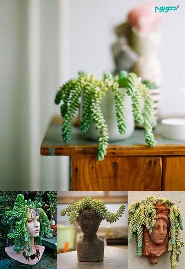 Cây đuôi lừa sở hữu vẻ ngoài độc đáo không giống bất kỳ loài cây nào khác nên rất được ưa chuộng
