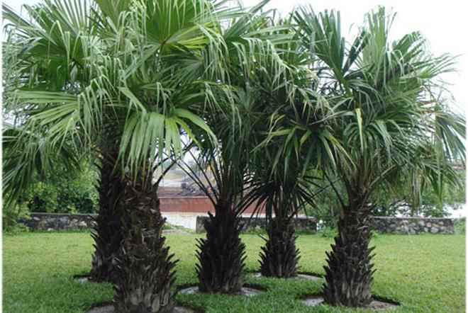 Hóa giải cấm kỵ phong thủy trồng cây trước nhà - Nhà Đẹp Số (2)