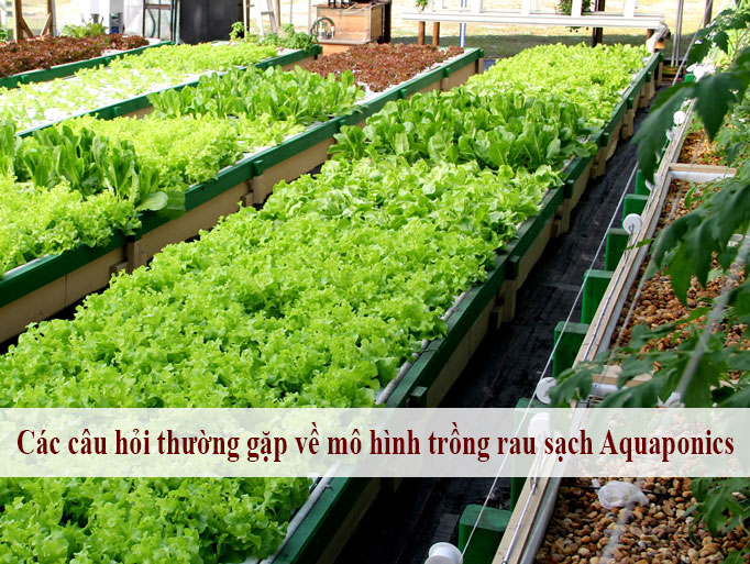 Các câu hỏi thường gặp về mô hình trồng rau sạch Aquaponics