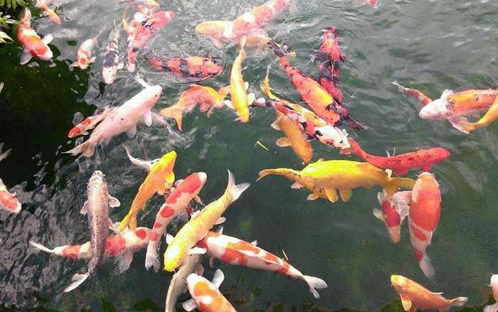 Môi trường nước của hồ cá koi phải được đảm bảo tốt nhất