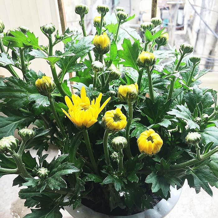 Hoa cúc mang may mắn, thịnh vượng và sự trường thọ cho gia chủ.