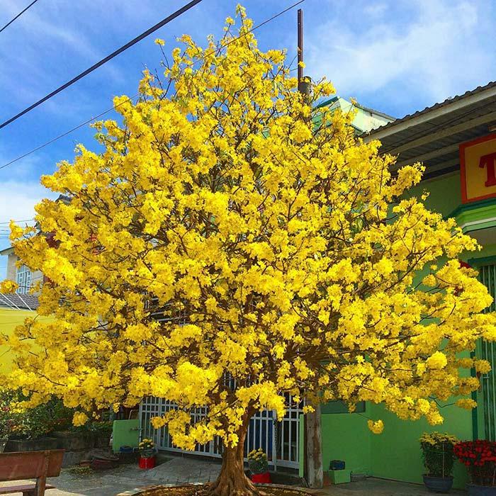 Hoa mai là loài hoa tượng trưng cho tết ở miền Nam.